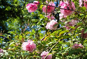 Amateur de roses anciennes, le Château d'Uzer, maison d'Hôtes